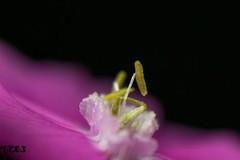 Yellow stamen , #Nature , #outdoor , #garden , #color , #Light , #composition , #flower , #Photographer , #flora , #Macro , #closeup , #upclose , #stamen , #mothernature , #delicate , #petals , #beautiful , #splendid , #Bokeh , #photoart , #spring , #wand (jwzw@ymail.com) Tags: yellow stamen nature outdoor garden color light composition flower photographer flora macro closeup upclose mothernature delicate petals beautiful splendid bokeh photoart spring wanderlust season biology perspective elegant exposure bloom contrast photography