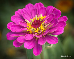 Zinnia (Ken Mickel) Tags: floral flower flowers plants zinnia bokeh closeup debthoffield garden gardens nature photography