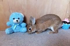 Ichigo san 293  (mensore) Tags: brown bunny cute family ichigo netherland dwarf netherlanddwarf pet rabbit