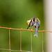 Bath Time (American Goldfinch Female)