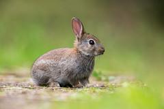Rabbit (Simon Stobart (back but busy)) Tags: rabbit grass stones ngc npc