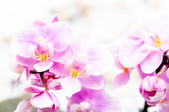 Orchid (Andreas Ebling) Tags: flower orchid macro canon 100mm pink inside studio plants