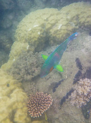 I think this is a wrasse? (kimbenson45) Tags: australia gbr greatbarrierreef lowislesreef queensland blue bouldercoral color colorful colors colour colourful colours coralreef fins fish fluorescent green iridescent nature pectoralfin pink underwater water wildlife wrasse yellow multicoloured parrotfish multicolored