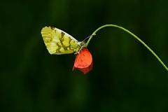 Lo mejor de dos mundos..... (T.I.T.A.) Tags: amapola mariposa bolboreta anthocharisbelia anthocharis insecto lepidptera ocourel
