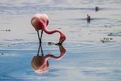 _MG_7248 (gaujourfrancoise) Tags: latinamerica amriquelatine bolivia bolivie gaujour andes pinkflamingos flamandsroses lagunacolorada red rouge altiplano