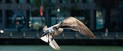 Gull On The Wing (AAcerbo) Tags: sanfrancisco embarcadero bird gull seagull flying flight wings city pier water dof shallowdepthoffocus widescreen cropped 241