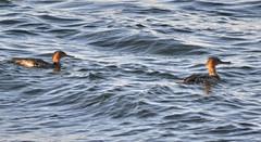 Red-breasted Mergansers (glenbodie) Tags: glen bodie glenbodie 201544 pointroberts redbreasted merganser dncb