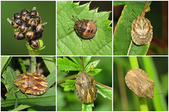 Tortoise Shieldbug (Eurygaster testudinaria) (Julian Hodgson) Tags: tortoiseshieldbug eurygastertestudinaria hemiptera heteroptera scutelleridae shieldbug