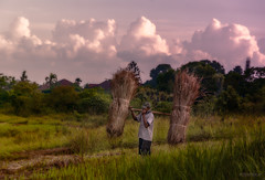 Working in the rice paddies - II (Peter Witberg) Tags: stockcategories ricefields timeofday nikon sunset bali people abstract landscapes photospecific clouds imagetype d7100 light afternoon sky countries orientation landscape ubud figure