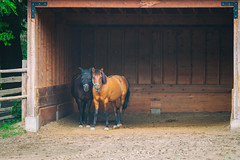 A Pair of Horses at the Farm (A Great Capture) Tags: quarterhorses horses agreatcapture agc wwwagreatcapturecom adjm toronto on ontario canada canadian photographer northamerica ash2276 ashleylduffus ald mobilejay jamesmitchell summer summertime 2016 riverdalefarm riverdale farm urbanfarm clydesdale animals cabbagetown city horse cuddle pair couple two 2