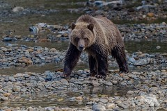 Grizzly Bear (fascinationwildlife) Tags: animal mammal grizzly bear brown br braunbr wild wildlife nature natur bute inlet canada kanada bc river stream fall autumn young cub juvenile predator cute