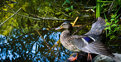 Stretching (DoruDV) Tags: duck mothernature fieldofview fov fineartphotography macro amazingcaptures photooftheday d3200 nikond3200 nikonphotography nikon nikkor1855mm excellentnature sun romania yellow professional depth field texture animal outdoor