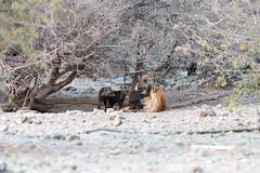 DSC_4340.JPG (manuel.schellenberg) Tags: namibia etosha animal nationalpark hyena