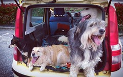 #canineabbiamo #cane #cani #dog #dogs #car #macchina #panda #stracarica #carica #full #famiglia #family #together #insieme #lovedogs #love #lovely #quante #risate (DanielOssino_EducatoreCinofilo) Tags: instagramapp square squareformat iphoneography uploaded:by=instagram hudson cane cani dog dogs ne abbiamo canineabbiamo car macchina panda stracarica carica full famiglia family together insieme lovedogs love amore cute lovely quante risate quanterisate quanterisateinsieme