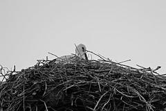 Stork (David Insonusvita) Tags: stork ciguea animales animal aves ave pajaro birds nature naturaleza animals nest nido pedraza spain espaa