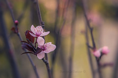renewal (stacey catherine) Tags: renewal spring blossom flowers nature westerncape dreamy layers texture garden pink