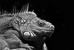 Good Morning (michel1276) Tags: leguan bw sw reptile reptilien tier einfarbig 7dwf