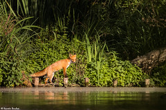 Renard  l'tang (Quentin Douchet) Tags: faune nature redfox renardcommun renardrouge renardroux vulpesvulpes animal fauna fox renard ngc