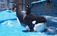 Lynn (EmilyOrca) Tags: orca aquarium cetacean pool water splash shore training session landing present face body marine mammal light