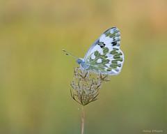 Pontia Edusa (Darea62) Tags: butterfly pontia edusa eastern bath