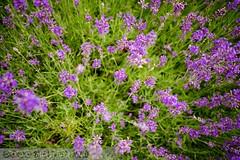 PLW_5559 (Laszlo Perger) Tags: wien vienna österreich austria blumengarten hirschstetten flowergarden