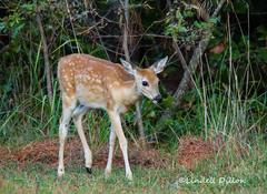 Cross Timbers fawn (Lindell Dillon) Tags: whitetail deer wildlife nature oklahoma crosstimbers lindelldillon