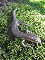 Five-lined Skink (U.S. Fish and Wildlife Service - Midwest Region) Tags: wildlife nature animals summer fall missouri mo neosho nfh hatchery nationalfishhatchery skink skinks fivelinedskink