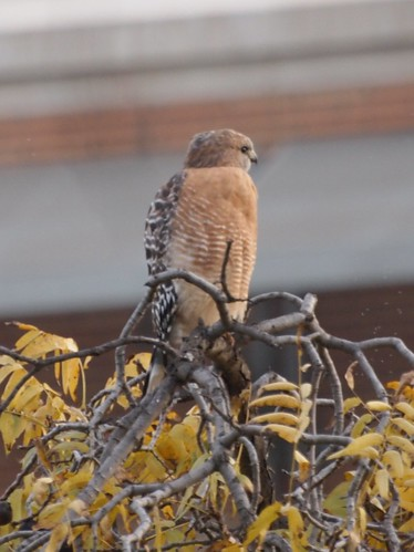 """Red-shouldered Hawk • <a style=""""font-size:0.8em;"""" href=""""http://www.flickr.com/photos/59465790@N04/8156894720/"""" target=""""_blank"""">View on Flickr</a>"""
