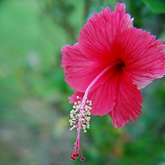 Ruffly edged rosy pink Hibiscus's stamen gleams in the morning light (jungle mama) Tags: hibiscus stamen pollen supershot thegalaxy pinkhibiscus coth5 mygearandme sunrays5