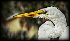 Lethal Weapon (Chris C. Crowley) Tags: bird eye animal wildlife beak waterbird tropical egret hdr greategret birdseye lethalweapon whitefeathers chriscrowley celticsong22 egreteye