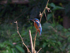 Common kingfisher (Rik de Goede) Tags: kingfisher srimongal