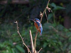 Common kingfisher (Rik de Goede) Tags: kingfisher srimongal