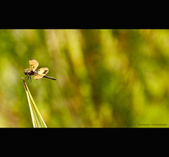 Tired of flying :(    let me take rest :) (Kanishka **) Tags: india macro green birds canon fly dof dragon bokeh bangalore canvas samrat kanishka 550d