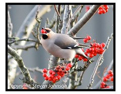 Bohemian Waxwing (Bombycilla garrulus) (johno147uk) Tags: xmas red bird berry berries migration waxwing migrant bombycillagarrulus