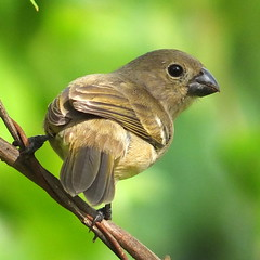 Wing-barred Seedeater female (Sporophila americana) (2mag7- non-stop catching up!) Tags: southamerica nature birds female suriname paramaribo sporophilaamericana blinkagain bestofblinkwinners blinksuperstars wingbarredseedeaterfemale