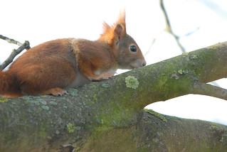 Eichhörnchen, NGID1158388440