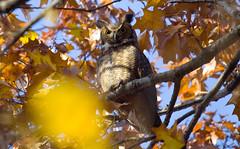 RambleGHO (jphillipobrien2006) Tags: centralpark greathornedowl diurnalraptors nocturnalraptors migratingraptors fuckthatsalotofraptors