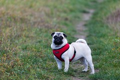 Penny (TheOtherPerspective78) Tags: vienna wien autumn dog cute fall canon puppy island funny soft sweet expression herbst pug hund harness danube stay mops carlino donauinsel welpe stehen puppia ef100400l theotherperspective78