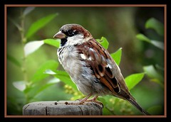 ..... nice to see you !!! (karin_b1966) Tags: bird nature animal natur sparrow tier vogel kreatur spatz frankfurterzoo creatur haussperling