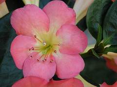 Crown of Thorns (PatrickMcNally) Tags: family pink 6 sunlight plant flower yellow hawaii algeria michael petals succulent colorful christ oahu pat jesus patrick woody maui m east full climbing kauai tropical euphorbia crown honolulu bigisland thorns shrub middle mcnally six madagascar height spurge crucifixion spiny bracts molokai euphorbiaceae milii patrick plant patmcnally pat christ patrickmcnally mcnally thorn 6 feet