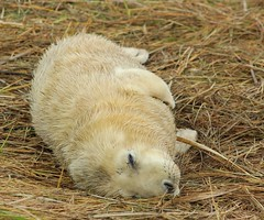 Sleepy Seal Pup (Derbyshire Harrier) Tags: winter lincolnshire pup raf 2012 greyseal donnanook lincolnshirewildlifetrust
