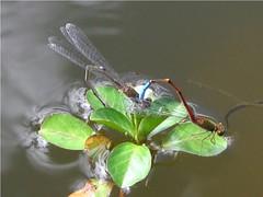 Caballitos (Ria-Photography-ec) Tags: naturaleza ecuador colores ecologa cuenca simetria coito amricadelsur libelulas caballitosdeldiablo