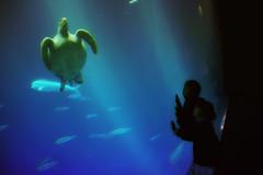 Sea Turtle (/\ltus) Tags: california monterey sony montereybayaquarium seaturtle