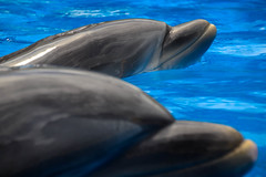 Like Mother Like Daughter (One-Drop) Tags: baby orlando florida dolphin dolphins seaworld calf starkey swf starla bottlenosedolphin bottlenosedolphins swo dolphinnursery