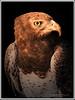 Portrait of an Eagle (Graham'M) Tags: portrait bird nature eagle birdofprey mygearandme ringexcellence flickrsfinestimages1 bestevergoldenartists freedomtosoarlevel1birdphotosonly freedomtosoarlevel2birdphotosonly freedomtosoarlevel2birdsonly