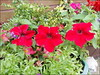 Red Petunias .. (** Janets Photos **) Tags: uk flowers red plants floral petunia artisticflowers takenwithlove mindigtopponalwaysontop lovelyflickr goldenachievement