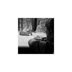 Mirando a la cebra / Looking to the zebra (A. Jimnez) Tags: b espaa alex valencia j mirar animales nio belmonte albacete cebra jimenez a bioparc trayo