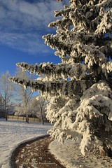 Christmas feeling (Una S) Tags: park christmas city morning blue winter sky white snow tree calgary pine day path sunny alberta feeling wonderland