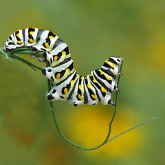 Black swallowtail caterpillar balancing act (Vicki's Nature) Tags: wild green yard canon butterfly georgia stripes curves ngc curvy caterpillar npc fennel sweep s5 creepycrawly blackswallowtail gamewinner supershot 7815 specanimal touchofyellow specanimalphotooftheday natureoutpost vickisnature beautifulworldchallenges 100commentgroup touchofblack touchofwhite bwcgnaturecloseups coth5 gamesweepwinner gameonemedal returndamn supershotscontestwinner readygm supershotscontestwk2dec2012 returncaferenee