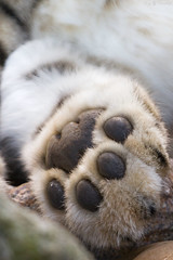 Assams paw (Cloudtail the Snow Leopard) Tags: zoo karlsruhe schneeleopard snow leopard uncia panthera irbis paw pfote cloudtailthesnowleopard